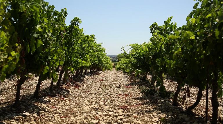 vigne pennautier